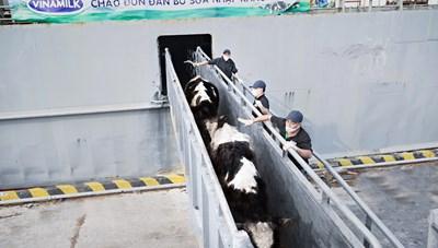 Vinamilk nhập khẩu hơn 2100 bò sữa từ Mỹ về trang trại Quảng Ngãi