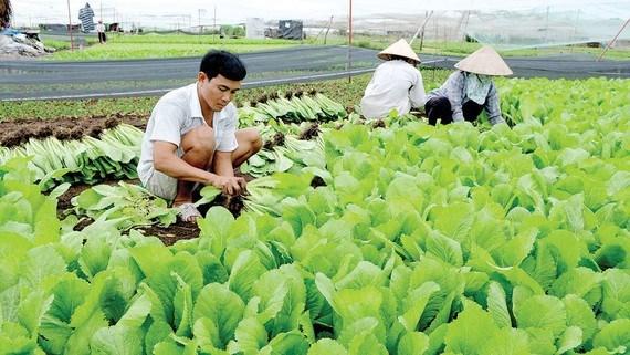 Nông dân TPHCM sản xuất rau an toàn. Ảnh: THÀNH TRÍ