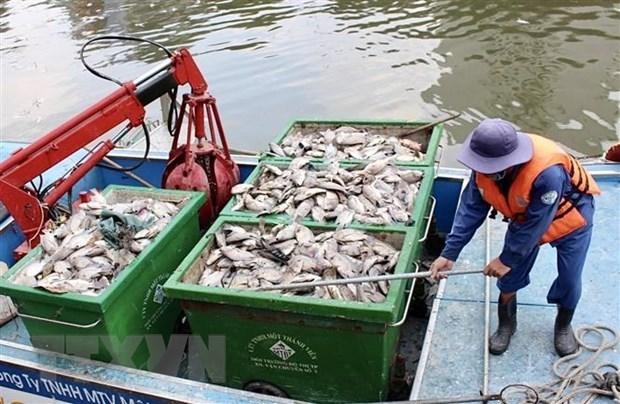 Công nhân vệ sinh thu gom xác cá. (Ảnh: Hồng Giang/TTXVN)