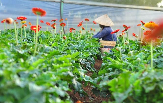 Vườn hoa đồng tiền của người dân ở xã Tà Nung, TP.Đà Lạt (Nguồn: Báo Nông nghiệp).