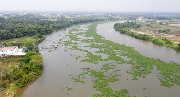 Sông Sài Gòn đoạn qua Nhà máy nước Tân Hiệp mùa khô bị lục bình xâm chiếm, nước nhiễm mặn - Ảnh: THẾ KIỆT