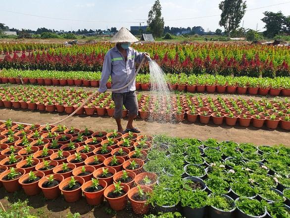 Người nông dân tất bật tưới nước, bón phân... để hoa nở đúng tết - Ảnh: N.TRÍ
