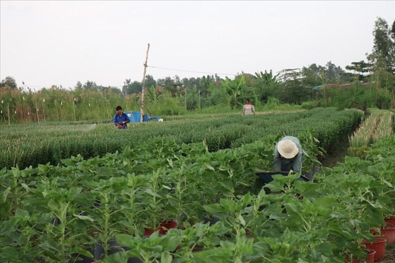 Người dân đang hối hả chăm bón hoa để kịp tung ra dịp Tết Tân Sửu.